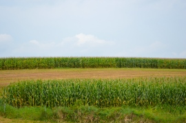 Late summer corn